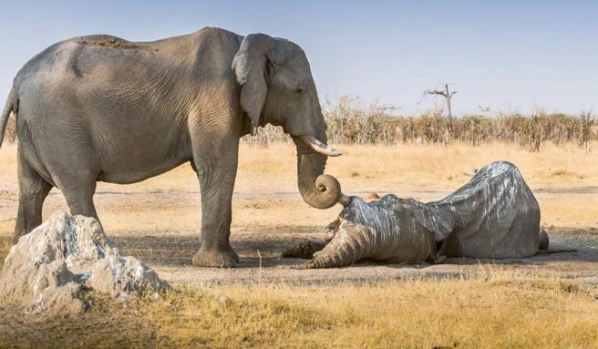 Mueren en masa cientos de elefantes en el centro de Africa, víctimas de una aterradora sequía