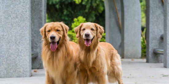 Te pagan un sueldo anual de más de 35.000 euros y alojamiento por cuidar de estos dos perros en una mansión de Londres
