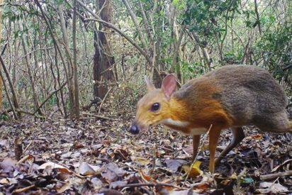 'Resucita' el ciervo ratón, que se creía extinto desde hace 30 años