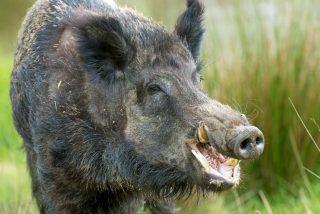 Una manada de jabalíes mata a una mujer a la puerta de su propia casa