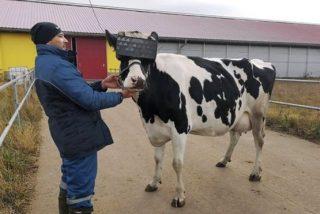¿A qué no sabes para qué sirven las gafas de realidad virtual que en Rusia les ponen a las vacas?