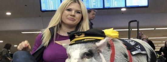 Vídeo viral: Esta cerda anima en un aeropuerto de EE.UU. a los pasajeros estresados