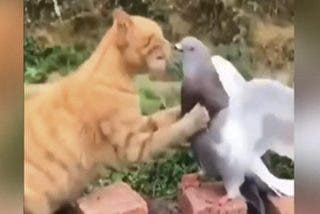 Vídeo Viral: Este gato recibe una terrible lección después de intentar devorar a una indefensa paloma