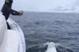 Vídeo viral: Este hombre y una beluga juegan con una pelota de rugby