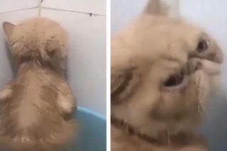 Vídeo viral: La cara de cabreo de este gato muestra a su dueño la poca gracia que le hace que lo obligue a bañarse…