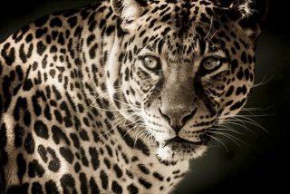 El momento en que un leopardo ataca a un motorista en una carretera