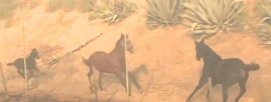 Vídeo viral: Un caballo valiente rescata a otros caballos que huían del fuego en Simi Valley en California