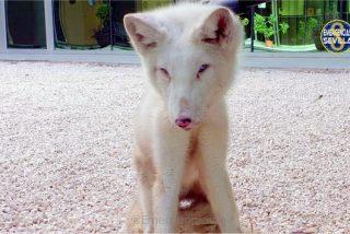 La Policía municipal encuentra a un zorro ártico deambulando por las calles de Sevilla