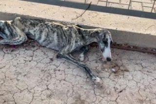 Vídeo viral: Rescatan a esta pobre perrita moribunda y desnutrida que no paraba de llorar en Murcia