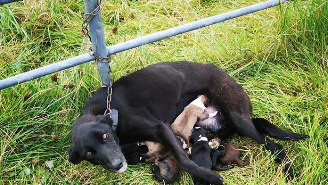 Encuentran a esta perra abandonada y encadenada a una valla con sus cachorros, a los que aún amamantaba