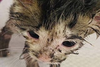 Rescatan a esta gatita cubierta con pegamento y plumas y abandonada a su suerte