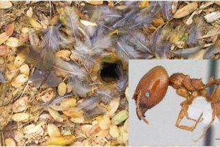 Así es la hormiga carnívora que crea trampas con plumas para atraer y merendarse a sus presas