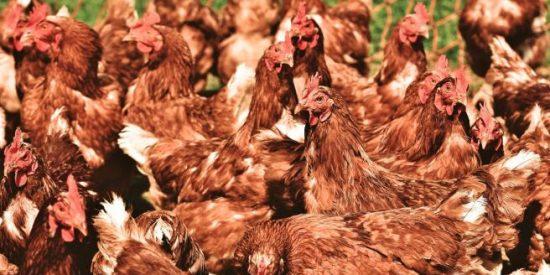 Un paisano compra sin querer 1.000 gallinas en una subasta online y... asume las consecuencias