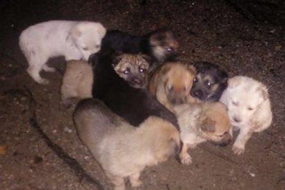 Ofrecen 1.000 euros de recompensa para dar con quien abandonó a estos 9 cachorros en un monte de la Coruña
