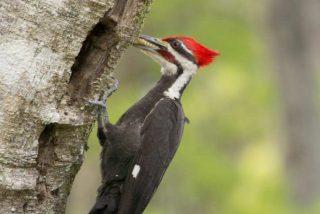 Uno de los grandes mitos sobre el Pájaro Loco ha sido desmontado...¿sabes cuál?