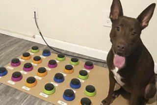 Vídeo viral: Este perro muy listo aprende a comunicarse a través de un sistema de botones y ni te imaginas qué dice…