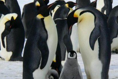 Los pingüinos emperador podrían extinguirse por culpa del calentamiento global