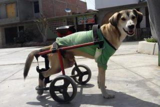 Así es la conmovedora historia de Rocky, un perro discapacitado al que le robaron su silla y dejaron tirado