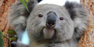 ¿Sabías que unos 2.000 koalas han muerto durante los incendios forestales en Australia?