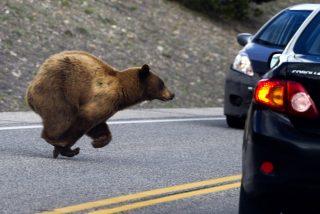 Este oso abre la puerta de un coche como si fuera suyo y se pone al volante