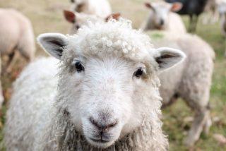 Policías británicos investigan los siniestros asesinatos de ovejas marcadas con pentagramas demoniacos