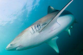 Descubren un lugar al que los tiburones vuelven cada año, pero nadie sabe por qué