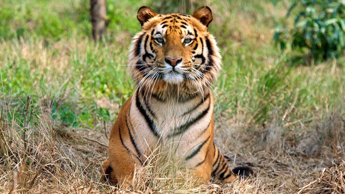 Este tigre bate el récord tras recorrer 1.300 kilómetros en busca de hogar, comida y compañera