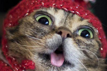 Triste adiós a Lil Bub, la famosa gata con la lengua por fuera que tenía millones de seguidores en Instagram