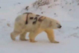 Encuentran a este oso polar con un mensaje pintado en su piel que podría poner en peligro su vida