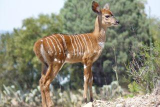 Esta cría de antílope cornea a un leopardo y pasa esto…