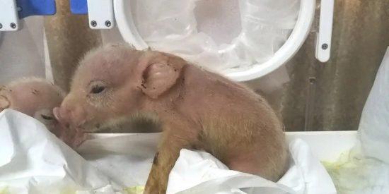 Así son los primeros híbridos de cerdo y mono nacidos en China