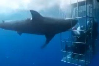 Este tiburón blanco muere desangrado tras quedar atrapado en una jaula de turistas