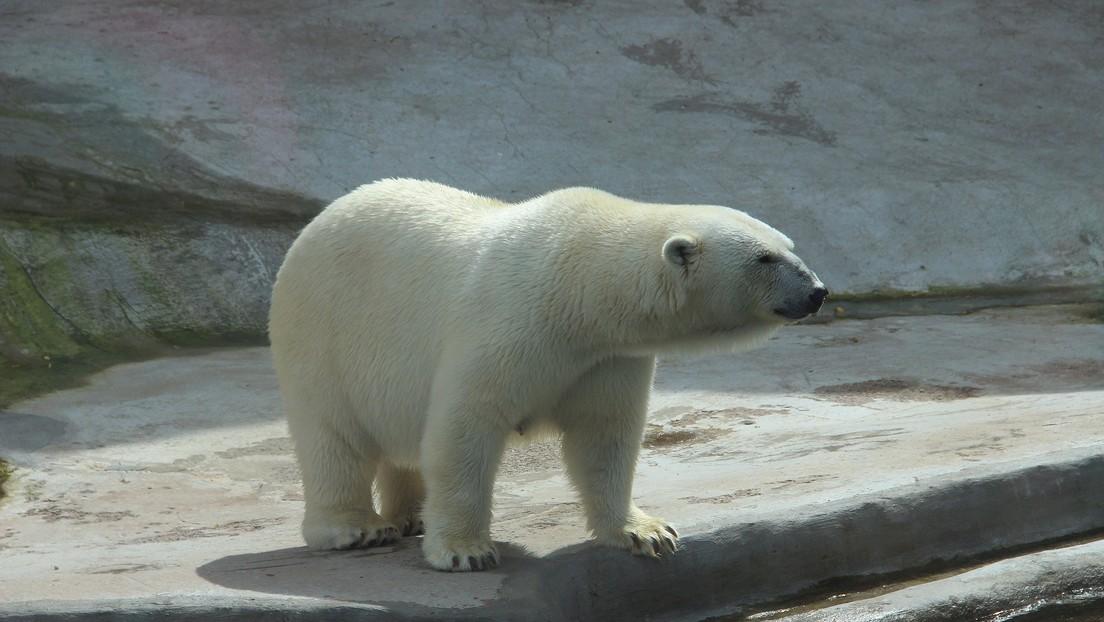 Explican el misterio del oso polar que lleva escrito en el lomo el nombre de un icónico tanque soviético