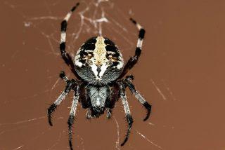 Descubren una nueva especie de araña violinista venenosa endémica del Valle del Anáhuac