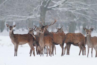Así rescata un patinador a tres ciervos atrapados en el hielo