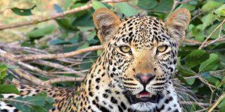 Este leopardo se merienda a un niño y hiere de gravedad a otro mientras jugaban frente a sus casas