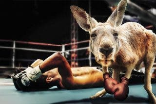Feroz pelea entre canguros al estilo 'machotes' de película de Hollywood