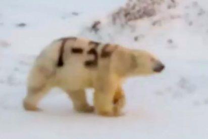 ¡Alarma Científica! ¿Qué significa el misterioso mensaje pintado sobre un oso polar en Rusia?