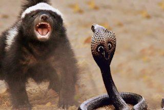 Los 2 chacales salvan al tejón de la serpiente y reciben un 'violento agradecimiento'