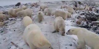 Medio centenar de osos polares hambrientos invaden una aldea de Rusia