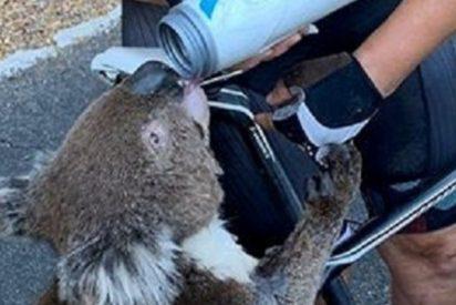 Este koala sediento para a una ciclista australiana para pedirle ayuda