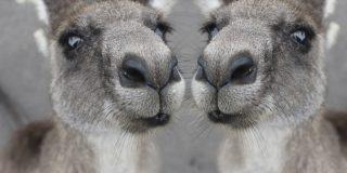 Esta feroz pelea entre dos canguros 'al estilo de un película de Hollywood' en el patio de una casa, se hace viral