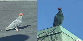 Las autoridades buscan a los que han puesto sombreros de vaquero en la cabeza de estas palomas