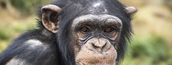 Este chimpancé lava con esmero la ropa de su cuidador en un zoológico