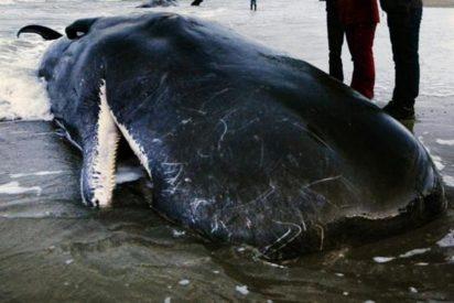 Encuentran este cachalote muerto en Escocia, con una «bola de basura» de 100 kilos en su estómago