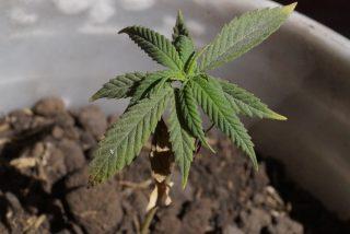 Cannabis: De la semilla al síndrome de abstinencia