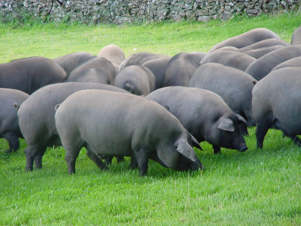 carne cerdo iberico