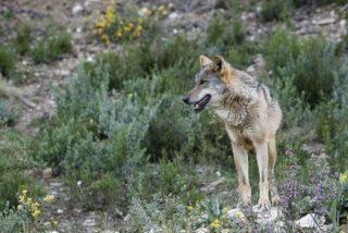 Aparece muerto de un tiro un lobo que participaba en un estudio sobre la especie en Madrid
