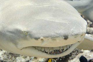 Este tiburón limón salta a la superficie y se merienda a miles de sardinas de un bocado
