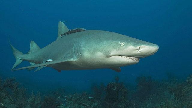 Descubren dos nuevas especies de un tiburón casi desconocido